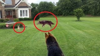 German Shepherd saves a Chihuahua from coyote!!!