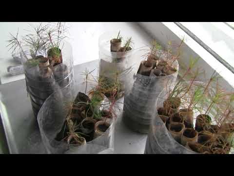 Как вырастить рожковое дерево в домашних условиях из семян