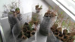 Выращивание деревьев из семян. Моя разработка.