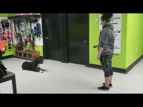 Novice Tricks Dog Bouba   DMWYD