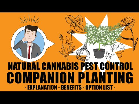 Companion Planting, Permaculture - Cannabis Pest Control 101
