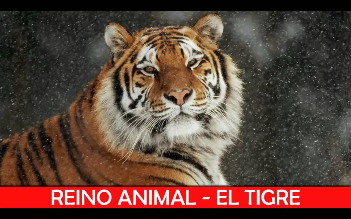 El Tigre: Animales Salvajes - YouTube