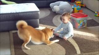 心が温まるね!柴犬と人間の赤ちゃんが兄弟のように遊ぶ様子が可愛すぎる