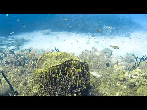 Longhorn Cowfish (Horned Boxfish) Swimming On A Reef In St Kitts