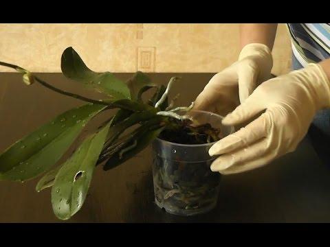 Орхидея фаленопсис висит над горшком. Выравнивание розетки в горшке
