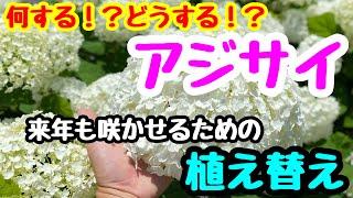 ■『アジサイの植え替え』今年買ったアジサイ🌱来年も咲かせるために。