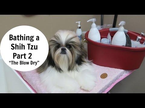 Bathing a Shih Tzu- Part 2- The Blow Dry