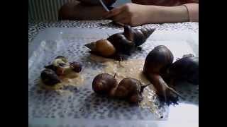 meine achatschnecken,afrikanische riesenschnecken