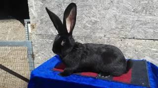 Купить кролика великана окрас Черный(, 2017-05-02T18:07:01.000Z)