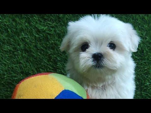 Maltese puppy for sale in Delhi 9999119170 dogs for sale