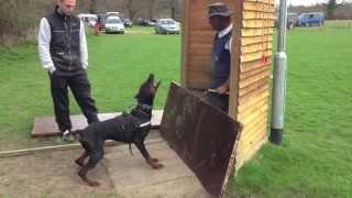 Doberman David Von Hunnoterra Ipo1 Schutzhund Training Bitework Protection