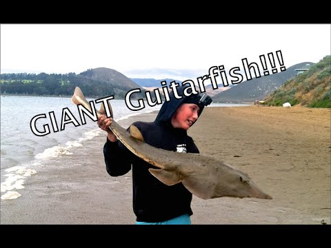 Shovelnose Guitarfish Fishing