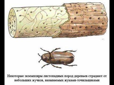 жук древоточец как избавиться Киров