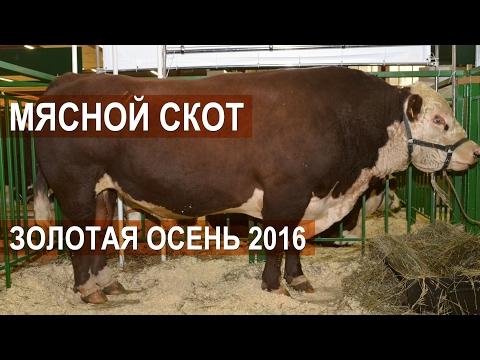 Мясной скот на Выставке Золотая осень 2016