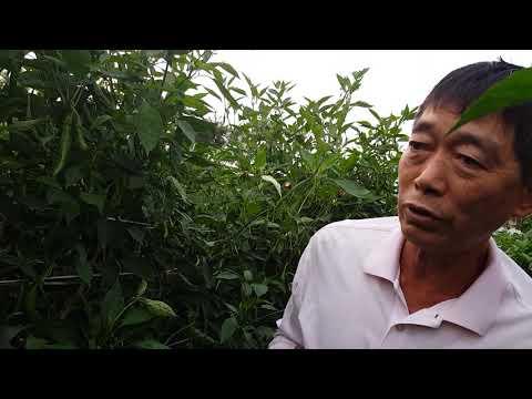고추농사 잘된 고추밭 보완할점 10가지