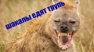 Шакалы в Кыргистане разрывают магилы и едят мертвых людей! Нападение произошло 22.09.2016 год!
