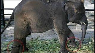Xót ruột chuyện chú voi bị xiềng xích suốt 50 năm