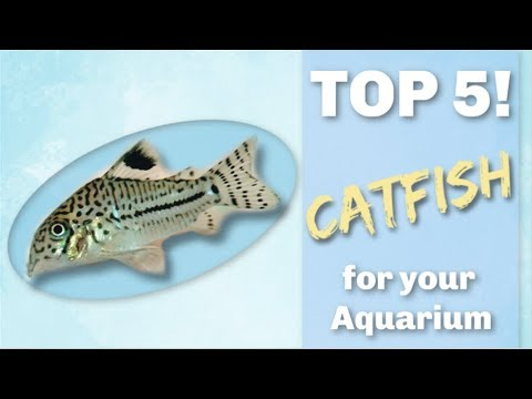 TOP 5 CATFISH FOR YOUR AQUARIUM!