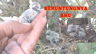 Imutnya Cindil Burung Perkutut Yang Baru Menetas Di Alam Liar #2