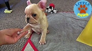 smallest dogs in the world for sale