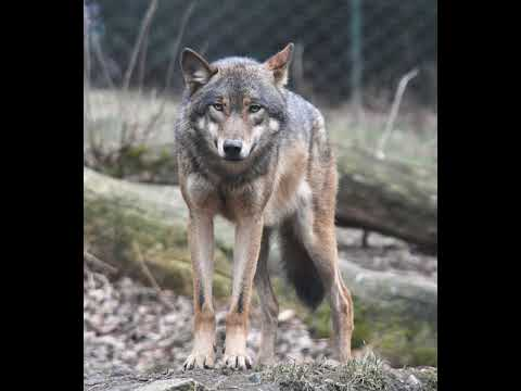 Gray Wolf Wikipedia Audio Article Youtube