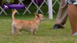 Chihuahuas Smooth Coat | Breed Judging 2021