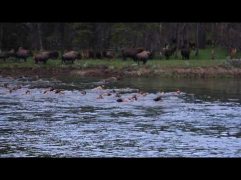 2017 06 27  bison crossing river Yellowstone 209