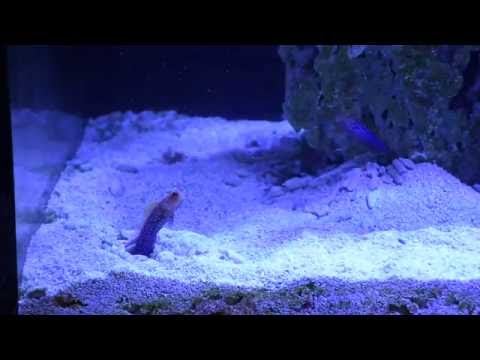 Blue Spot Jawfish Pair