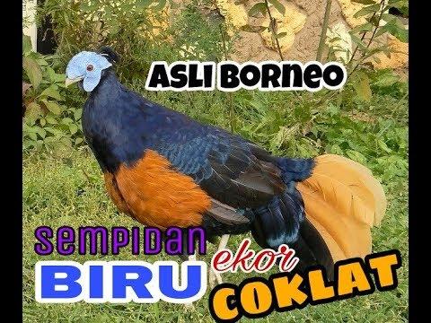 Sempidan Biru Ekor Coklat Kalimantan