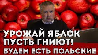 Беларусь. Урожай яблок. Наши сгниют, будем есть польские!