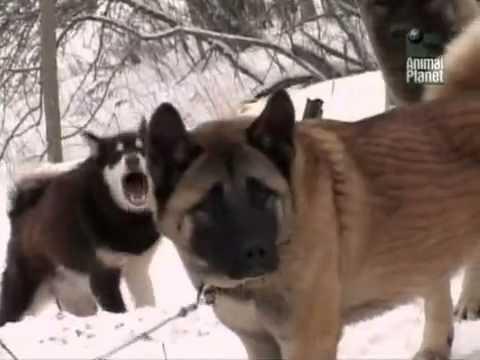Animal planet Все о собаках 1BBC RU 21  Американская Акита