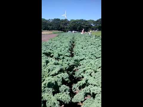 A Sea of Kale