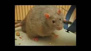 ASTUCES cas Disparaître pour toujours toutes les souris dans votre maison!