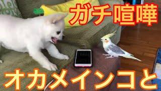くーちゃんオカメインコのきなこに劇おこ?! オカメインコのきなこはく...