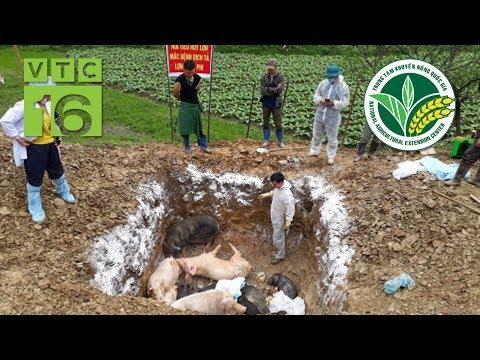 Dịch tả lợn Châu Phi: Căn bệnh nguy hiểm, khó ngăn chặn | VTC16