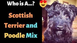 Scottish Terrier and Poodle Cross Breed (Scoodle)   Complete Guide on Scoodles  