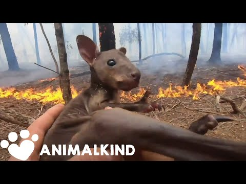 Rescuers race to save Australia's wildlife | Animalkind