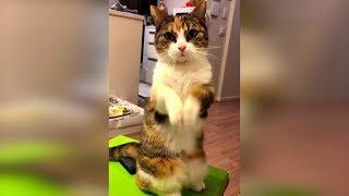 Лучшее видео про кошек 2019 апрель, смешные приколы с животными, очень смешные коты и кошки #53