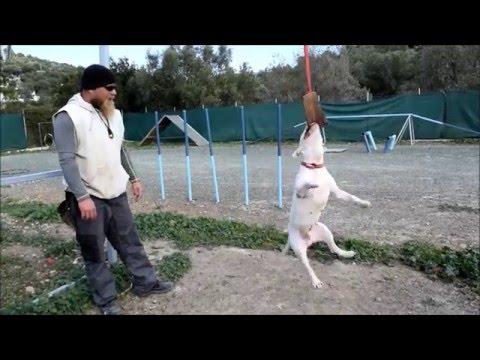Bull terrier agility and springpole training
