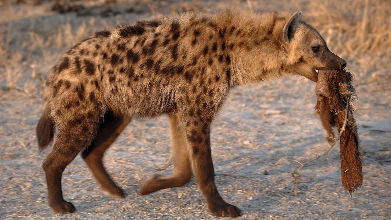 A Laughing Hyena   Alexis Morgan   Flickr