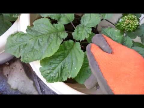 New York City Grow American Organic Ginseng in the Pots...10 years old Ginseng 種美國有機花旗参