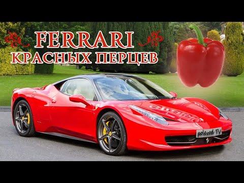 Ferrari быстро краснеющих перцев. Лучший сорт болгарских перцев Феррари.
