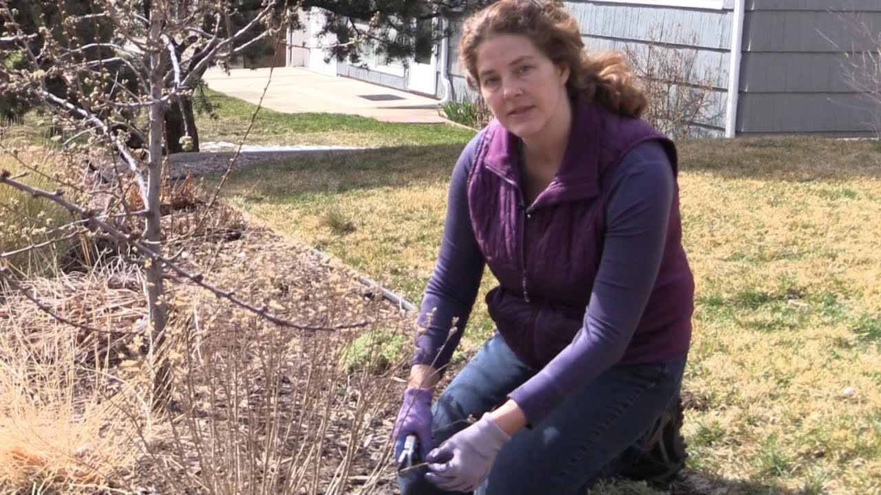 How To Prune Blue Mist Spirea In Spring Youtube
