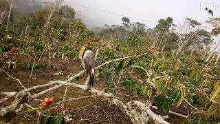 Suara panggilan burung kutilang untuk pikat burung kutilang liar di alam