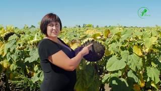 Хороший урожай 2016 Подсолнечник Черкасская область
