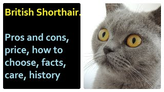 British Shorthair. Pros and Cons, Price, How to choose, Facts, Care, History