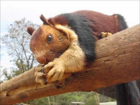Malabar giant squirrel in Kerala national forest eating a cookie