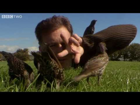 Help! I'm Being Predated By A Starling! - The Animal's Guide To Britain, Episode 2 - BBC Two