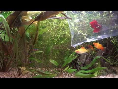 Unboxing my new Betta (Holland) - Vlog 3 (Takeaway Aquarium)