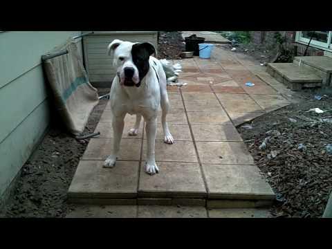 Big American Bulldog